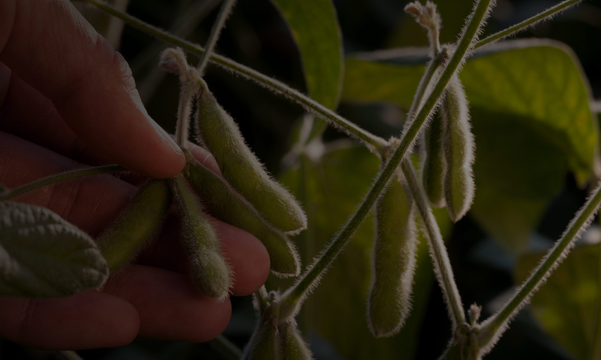 Final-Step-for-Global-Trade-High-Oleic-Soybean-Recieve-EU-Approval